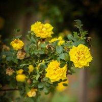 Роза желтая... :: Nonna