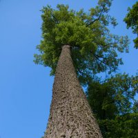 Просто дерево :: K Chira