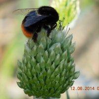 Пчела :: Ираида Мишурко