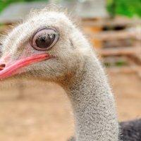 Портрет страуса эмигранта живущего в белорусии :: Анатолий Клепешнёв