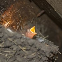 Птенец ласточки :: Андрей Бедняков