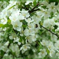 Яблони цветут :: Елена Перевозникова