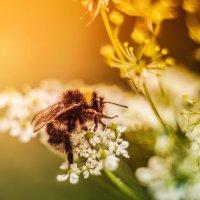 я пчелка, пчелка, пчелка... :: Анна Брацукова
