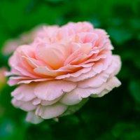 И снова роза... :: Nonna