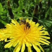 Снова пчелка) :: Алина Лопатина