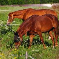 Лошади на поле :: Aнна Зарубина