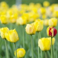 тюльпаны :: Boroda Boroda
