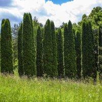 Декоративные деревья Кисловодского парка :: Николай Николенко