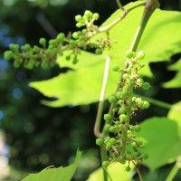 Как растет виноград. :: Nota Bene