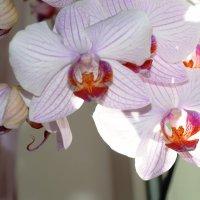 орхидея :: сергей