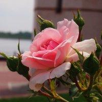 роза :: Ирина ***