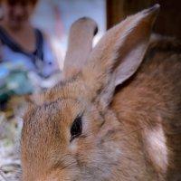 Кроля :: Сибирский Кот