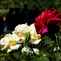 богомолы на розе :: Ольга Рывина