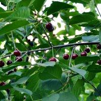 Поспели вишни... :: Владимир Болдырев