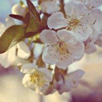 цветение вишни :: вика