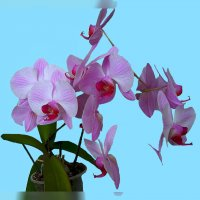Комнатные орхидеи :: Владимир Хатмулин