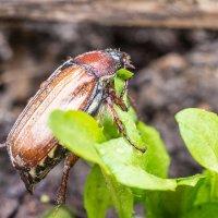 Майский жук :: Stanislav Zanegin