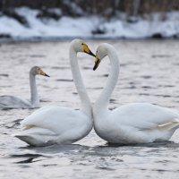 Лебеди :: Максим Блинов