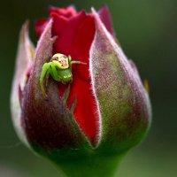 Паучок и роза :: Елена Ахромеева