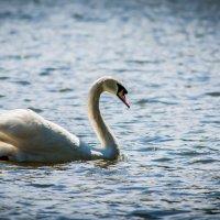 Swan :: Борис Б