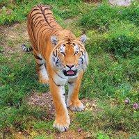 Tiger :: KatRina K
