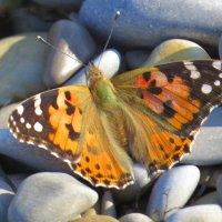 бабочка, которая заставила меня сделать эту фотку :: Валерий Дворников