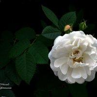Роза чайная. :: Анатолий