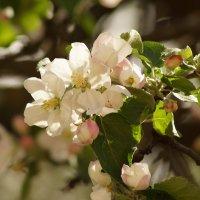Яблони цветут :: Вячеслав Козлов