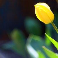 Желтый тюльпан :: Евгений Глухов