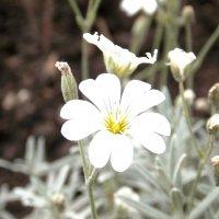Придорожная пыль на красивых цветочках... Автор Саша. :: Фотогруппа Весна.
