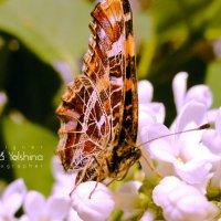 Бабочка :: Анна Ёлшина