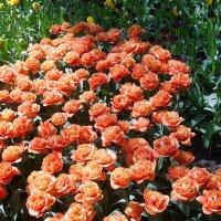 Тюльпаны :: Лариса Рогова
