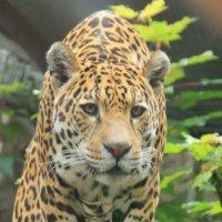 леопард :: Лидия Юсупова