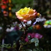 Роза жёлтая. :: Анатолий