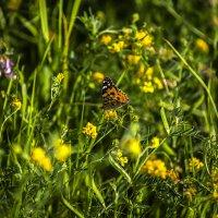 Полевая бабочка :: Николай Николенко