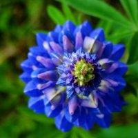 Ещё один любимый цветочек :: Владимир Гилясев