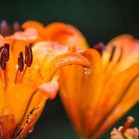 И цветы плачут :: Anna_K