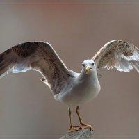 Молодая чайка :: Андрей Медведев