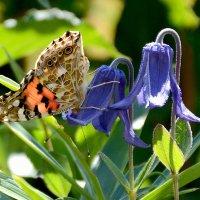 Бабочка и клематис :: Елена Ахромеева