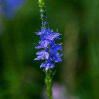 Лесной цветок :: Анатолий Казанцев