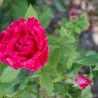Rose :: Vorel Moldovanu