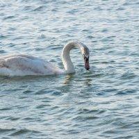 Лебедь :: Денис Красненко