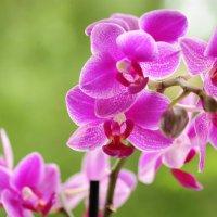 орхидея :: Игорь Кудрявцев
