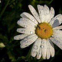 Ромашковый дождь :: Татьяна Степанова