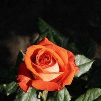 роза :: Андрей Кураков