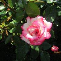 Роза :: раиса Орловская