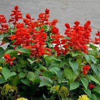 Цветочки красные. :: Анатолий
