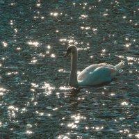 Лебедь в Летнем Саду :: Илья Шипилов