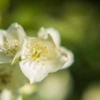 Цветок жасмина :: Антон Бабалян