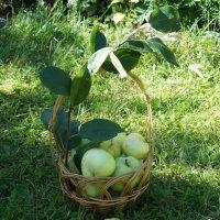 Яблоки на траве :: Галина Кан